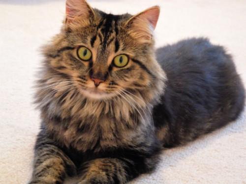 Good Names Norwegian Forest Cat